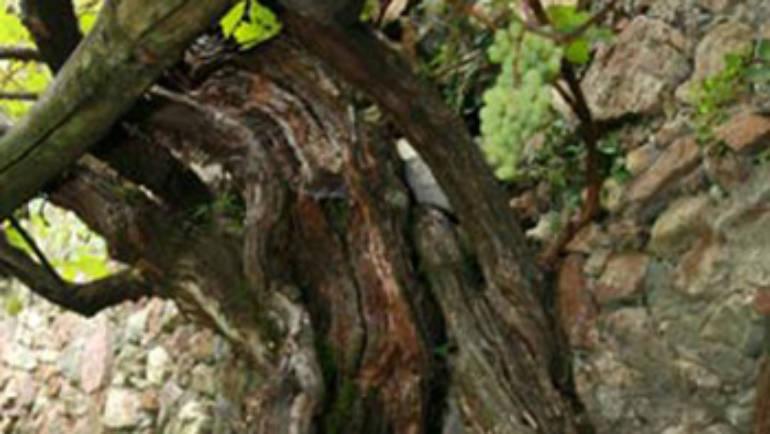 La statua in legno di vite raffigurante Tinia, vino e banchetti nell'etrusca Populonia